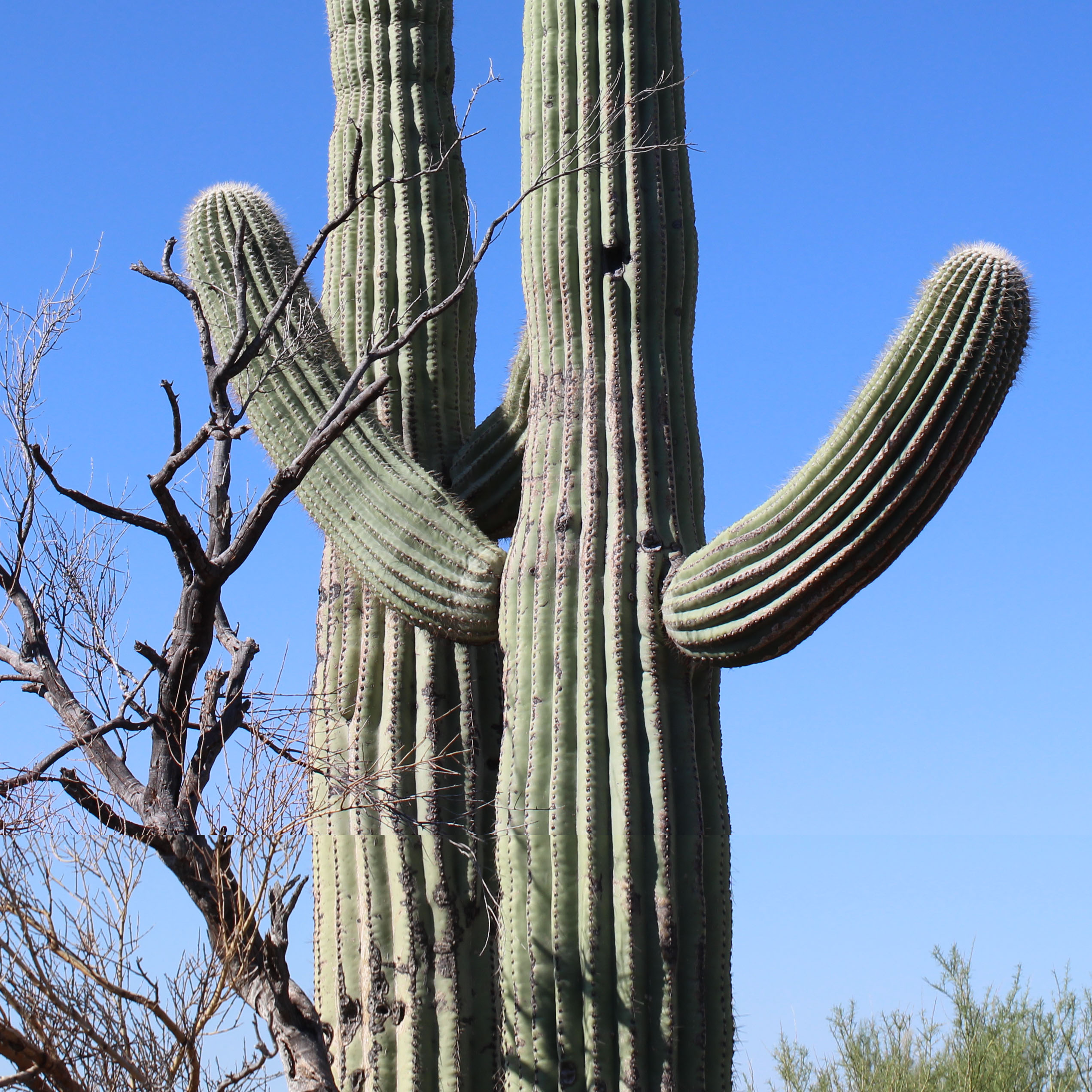 SAGUARO NURSE TREE Featured